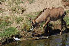 Roan antelope. A young roan antelope (Hippotragus equinus) at a local zoo chasing an egret Stock Photos