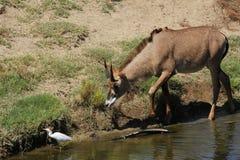 Roan antelope Stock Photos