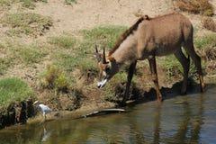 Roan antelope Stock Image