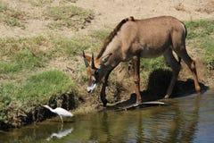 Roan antelope Stock Photography