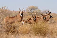 Roan antelopes. Rare and endandered roan antelopes (Hippotragus equinus), South Africa stock photography
