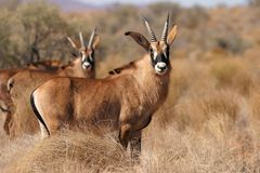 Roan antelopes Royalty Free Stock Photography