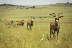 Roan antilop Afrika i grässlättarna royaltyfri foto