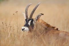 Roan Antilope Stockfoto
