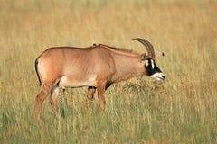 Roan Antilope stockbilder