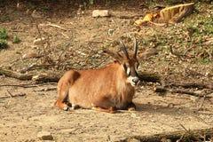 Roan antilope die (Hippotragus-equinus) op zand rusten Royalty-vrije Stock Afbeeldingen