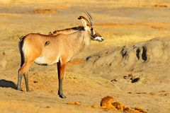 Roan antilope, Hippotragus-equinus, in aardhabitat Detailportret van antilope, hoofd met afluisteraar en geweitakken Het wild bin stock foto