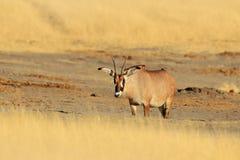Roan antilope, Hippotragus-equinus, in aardhabitat dier met geweitakken, hete de zomerdag in grasweide Het wild in Afrika royalty-vrije stock foto
