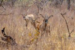 Roan antilope, Hippotragus-equinus, savanneantilope in het Westen, Centraal, het Oosten en Zuid-Afrika wordt gevonden dat E stock afbeelding