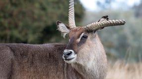 Roan antilope met gebroken geweitak Gefotografeerd bij Haven Lympne Safari Park dichtbij Ashford Kent het UK stock afbeelding