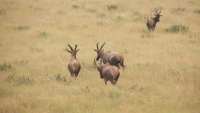 Roan antilopen in super langzame motie stock videobeelden