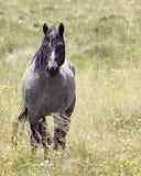 Roan Australian Brumby Stallion Fotografia Stock
