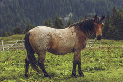 Roan bay stallion grazing Royalty Free Stock Image
