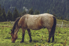 Roan bay stallion grazing Stock Photos