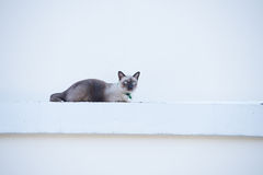 Roan cat on the wall. Royalty Free Stock Image