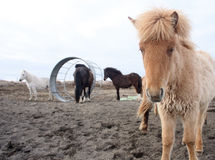 Icelandic horses. Roan coloured Icelandic foal. With feeding cage and white, black and bay horse in background in iceland Royalty Free Stock Photography