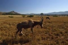 Roan equinus Hippotragus αντιλοπών στο άδυτο άγριας φύσης Mlilwane στη Σουαζιλάνδη Στοκ Εικόνες
