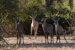 Roan family. Adult Roan Antelope Hippotragus equinus watches over young, Botswana, 2015 stock photography