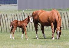 Roan foal Stock Photo