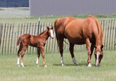 Roan foal. Roan mare grazing and her foal looking toward camera Stock Photo