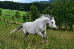 White horse galloping on the meadow Stock Photos