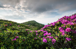 Roan Highlands Appalachian Trail Catawba Rhododendron Scenic Royalty Free Stock Photo