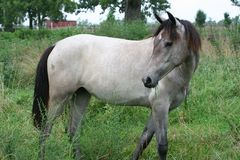Roan Horse. A roan colored horse in a countryside pasture Stock Photo