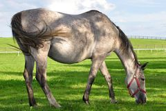 Roan horse at grazing Royalty Free Stock Image