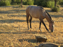 Roan horse in Olive Grove Stock Images