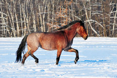 Roan horse trotting in winter field Stock Image