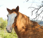Roan horse with white blaze - head - behind fence with branches stock image