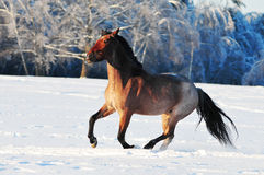 Roan horse in winter field Stock Images