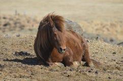 Roan Icelandic Horse de descanso imagem de stock