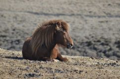 Roan Icelandic Horse Resting em uma exploração agrícola imagens de stock