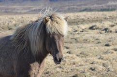 Roan Icelandic Horse Standing em um campo foto de stock royalty free