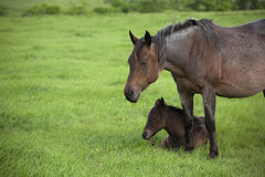 Roan mare and colt Stock Photos
