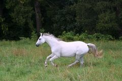 White horse galloping on the meadow Royalty Free Stock Photography