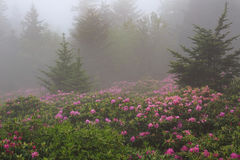 Roan Mountain State Park TN in Fog. Wild pink catawba rhododendron shrouded in fog at Roan Mountain State Park in Tennessee on the border of North Carolina stock photo