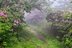 Roan Mountain Trail Fog Rhododendron North Carolina Tennessee. Trail on Roan Mountain through a patch of wild catawba rhododendrons and fog on the North Carolina royalty free stock image