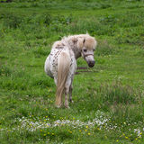 Roan pony Royalty Free Stock Photography