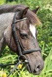 Roan pony portrait. royalty free stock photos