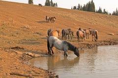 Roan Stallion azul que bebe en el waterhole con la manada de caballos salvajes en la gama del caballo salvaje de las montañas de  imágenes de archivo libres de regalías
