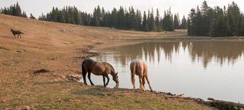 Roan Stute der Leber-Kastanien-Bucht und rote Roan der Hengst, die am waterhole im Pryor-Gebirgswilden Pferd trinkt, erstrecken s Lizenzfreie Stockbilder