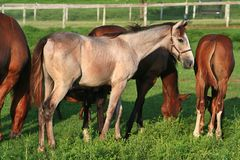Roan Thoroughbred colt grazes with others. A handsome roan Thoroughbred colt eyes the stranger as he grazes with his peers in a lush summer pasture royalty free stock photos