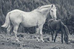Roan vit sto med hennes föl Royaltyfria Foton