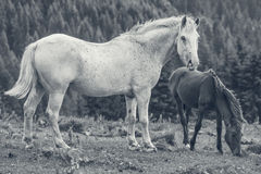 Roan weiße Stute mit ihrem Fohlen Lizenzfreie Stockfotos