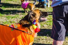 Dog Waiting for the Start of the Annual Roanoke Valley SPCA 5K Tail Chaser. Roanoke, VA – March 23rd: Large Brown dog waiting for the start of the royalty free stock image