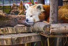 Red Panda Napping. Roanoke, Virginia USA – February 5th: The red panda is a mammal native to the eastern Himalayas and southwestern China and is on royalty free stock photo