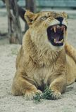 Roar. Animal, freedom, today, tooth stock images