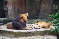 The roar of a lion. Filmed in Shanghai zoo lion mountain Stock Photos